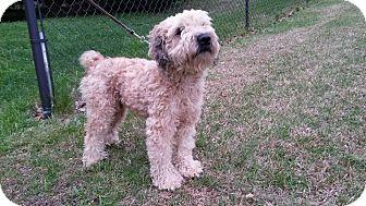Wheaten Terrier Dog for adoption in ROCKMART, Georgia - Shag