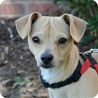 Chihuahua Mix Dog for adoption in Denver, Colorado - Roosevelt