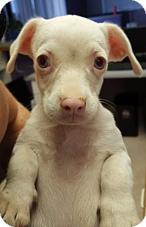 Chihuahua Mix Puppy for adoption in Scottsdale, Arizona - Sky