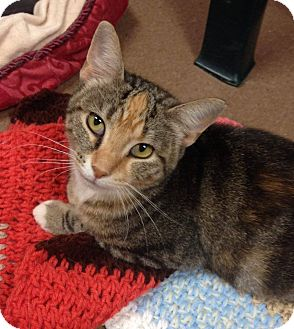 Domestic Shorthair Cat for adoption in Hendersonville, North Carolina - Patti