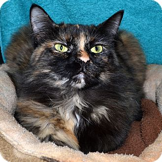 Domestic Longhair Cat for adoption in Wheaton, Illinois - Caramel