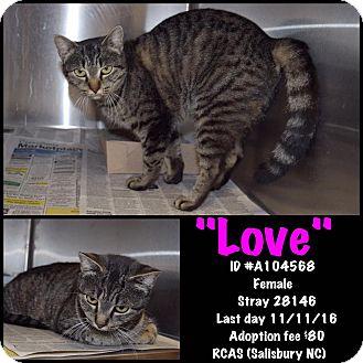 Domestic Shorthair Cat for adoption in Salisbury, North Carolina - Love
