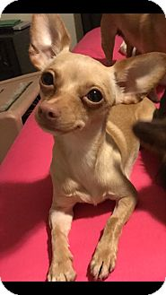 Chihuahua Mix Dog for adoption in Las Vegas, Nevada - Libra bonded w/Gemini