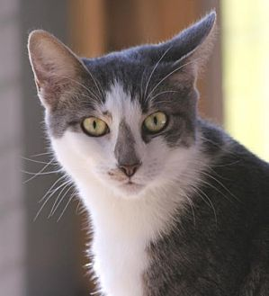 Domestic Shorthair Cat for adoption in North Fort Myers, Florida - Petra