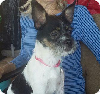 Shih Tzu/Terrier (Unknown Type, Small) Mix Dog for adoption in Boynton Beach, Florida - Oreo