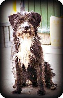 Terrier (Unknown Type, Medium) Mix Dog for adoption in Tijeras, New Mexico - Bigotes