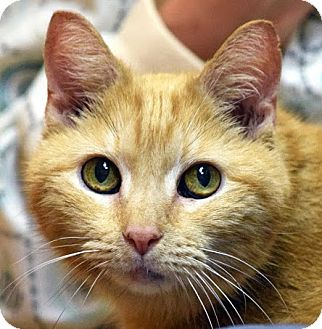 Domestic Shorthair Cat for adoption in Norwalk, Connecticut - Winger