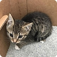 Adopt A Pet :: Biscuit - Baltimore, MD