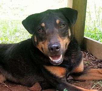 Dachshund/Shepherd (Unknown Type) Mix Puppy for adoption in Greenville, South Carolina - Frankie