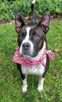 Boston Terrier Mix Dog for adoption in Sylva, North Carolina - Mary