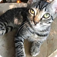 Adopt A Pet :: Allie - Woodland Hills, CA