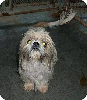 Shih Tzu Dog for adoption in Ashland, Virginia - Freddy-ADOPTED!!!