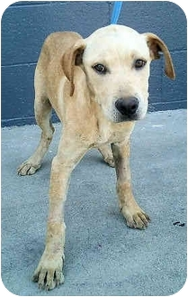 Catahoula Leopard Dog Mix Puppy for adoption in Los Angeles, California - Morgan