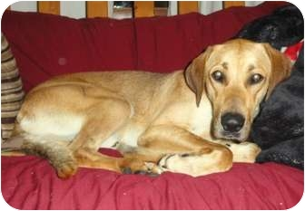 Great Dane/Labrador Retriever Mix Dog for adoption in Palatine, Illinois - Abraham