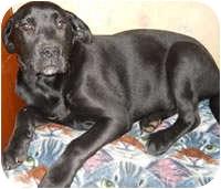 Labrador Retriever Mix Puppy for adoption in Avon, New York - Ayla