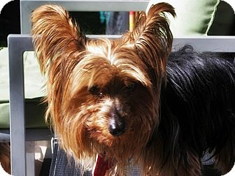 Yorkie, Yorkshire Terrier Mix Dog for adoption in Toronto, Ontario - Myla