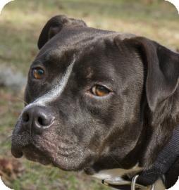 Labrador Retriever Mix Dog for adoption in Gainesville, Florida - Potter
