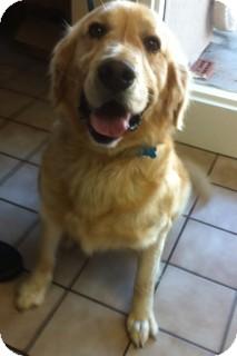 Golden Retriever Dog for adoption in White River Junction, Vermont - Boomer