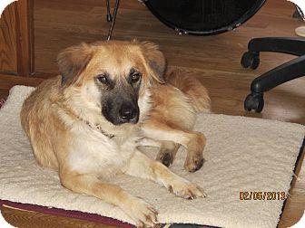 Shepherd (Unknown Type)/Golden Retriever Mix Dog for adoption in Schaumburg, Illinois - Bear