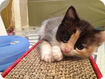 Calico Kitten for adoption in Brea, California - DORA the Explorer