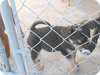 Shepherd (Unknown Type)/Corgi Mix Puppy for adoption in Falls Mills, Virginia - Junior