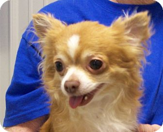 Chihuahua Mix Dog for adoption in Hartford, Kentucky - Skittles