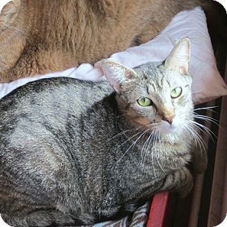 Domestic Shorthair Cat for adoption in Lyons, New York - Petunia
