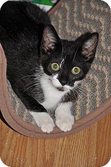 Domestic Shorthair Kitten for adoption in Charlotte, North Carolina - Sweet Mariah