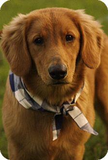 Golden Retriever Puppy for adoption in Glastonbury, Connecticut - Sampson