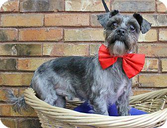Schnauzer (Miniature)/Shih Tzu Mix Dog for adoption in Benbrook, Texas - Bugzie