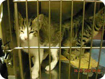 Domestic Shorthair Kitten for adoption in Fort Walton Beach, Florida - 39573