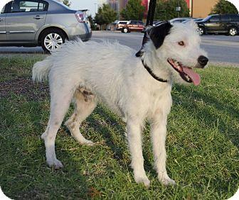 Jack Russell Terrier Dog for adoption in Houston, Texas - Hoss In Houston
