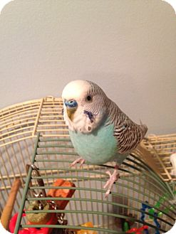 Budgie for adoption in St. Louis, Missouri - Cici