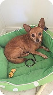 Chihuahua Dog for adoption in st peters, Missouri - cHIcHI