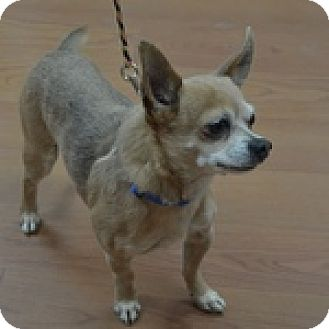 Chihuahua Mix Dog for adoption in Wheaton, Illinois - Diego