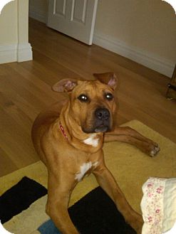 American Staffordshire Terrier Mix Puppy for adoption in Rockville, Maryland - Scrappy