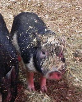 Pig (Potbellied) for adoption in Woodstock, Illinois - Simba