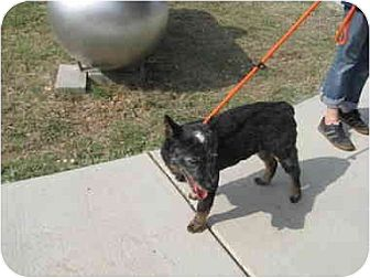 Australian Cattle Dog Mix Dog for adoption in Lavon, Texas - Donny