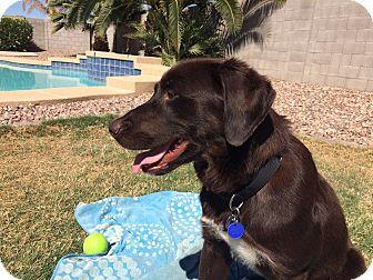 Labrador Retriever Mix Dog for adoption in Phoenix, Arizona - Red