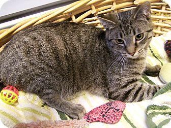 American Shorthair Cat for adoption in Toledo, Ohio - Tiger
