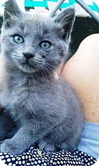 Domestic Shorthair Kitten for adoption in Radford, Virginia - Tito
