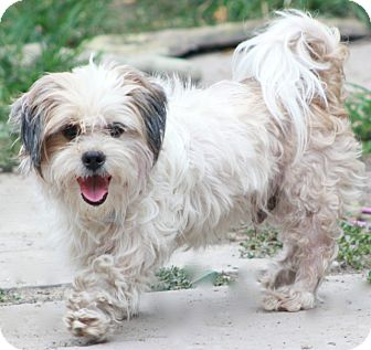 Havanese Mix Dog for adoption in Allentown, Pennsylvania - Max