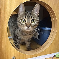 Domestic Shorthair Cat for adoption in Arlington/Ft Worth, Texas - Glenfiddich