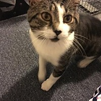 Domestic Shorthair Cat for adoption in Rockaway, New Jersey - Dodger (FELV +)