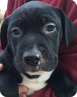 Labrador Retriever Mix Puppy for adoption in PLAINFIELD, Indiana - Morning Stsr