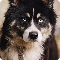 Adopt A Pet :: Cherokee - Portland, OR