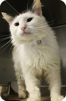 Ragdoll Cat for adoption in Harrisburg, North Carolina - Athena