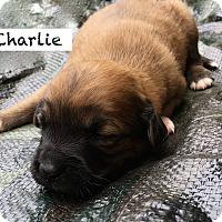 Adopt A Pet :: Charlie Schultz - Alpharetta, GA