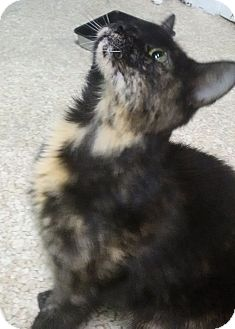 Domestic Shorthair Cat for adoption in Washington, D.C. - Susan, Summer special $125!