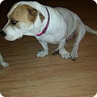 Adopt A Pet :: Abigail - Snyder, TX
